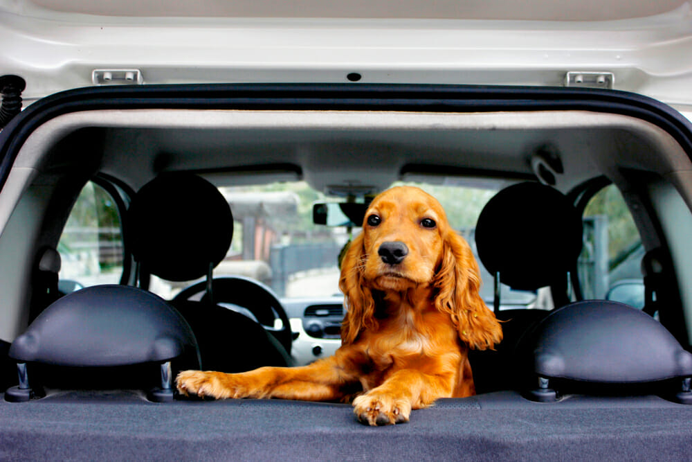 A dog standing on the back seat of a car and facing the opened back door